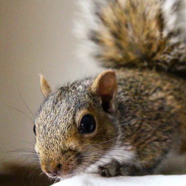 Who are you?? What's your agenda?? Have you signed the petition to let us live in peace? Have you got nuts???? . #squirrel #greysquirrel #saveanimals #helpanimals #petition #fightlikeasquirrel #worldofwildlife #worldofsquirrel #unearthlygrey #animalright…  http:// bit.ly/2YtUkAU    <br>http://pic.twitter.com/VUw9Fc89uE