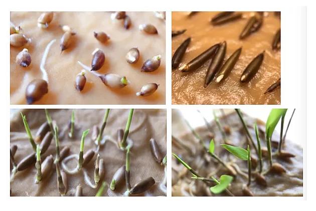 How to germinate #bamboo seeds:  https:// bit.ly/2LJSISl  &nbsp;   #blog #information #thinkbamboo @DiscoverYunnan<br>http://pic.twitter.com/yjlpqzZf0S