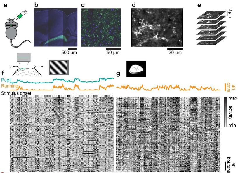 "Congratulations to Sylvia Schroeder, @neonsynapse, @SteinmetzNeuro, @marius10p, and colleagues. #neuropixels recordings  and 2p imaging of retinal axons reveal that the retina does not ""just"" process  photons: its output depends on behavior!  https://www.biorxiv.org/content/10.1101/638049v1 …"