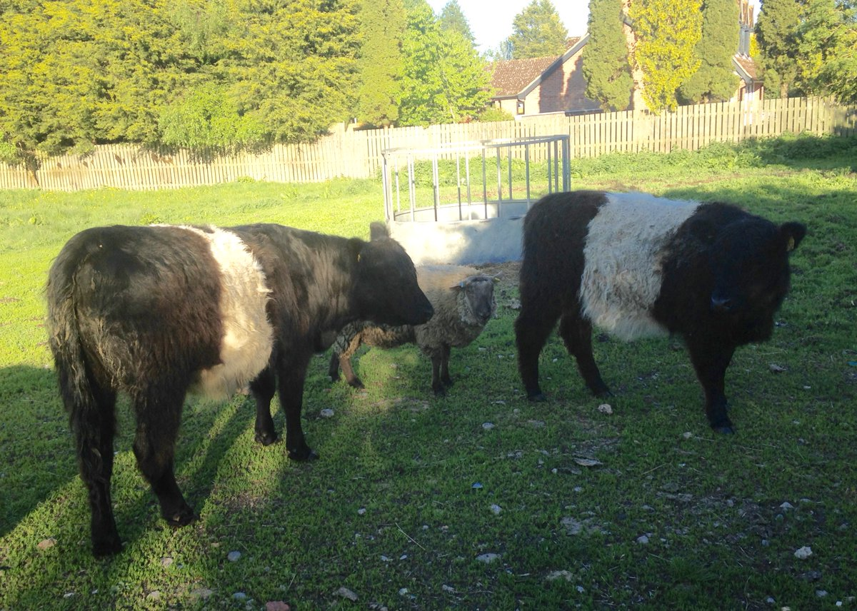 Shelsleys Perdita #beltedgalloway filling out nicely