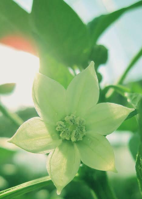 言葉 パプリカ 花