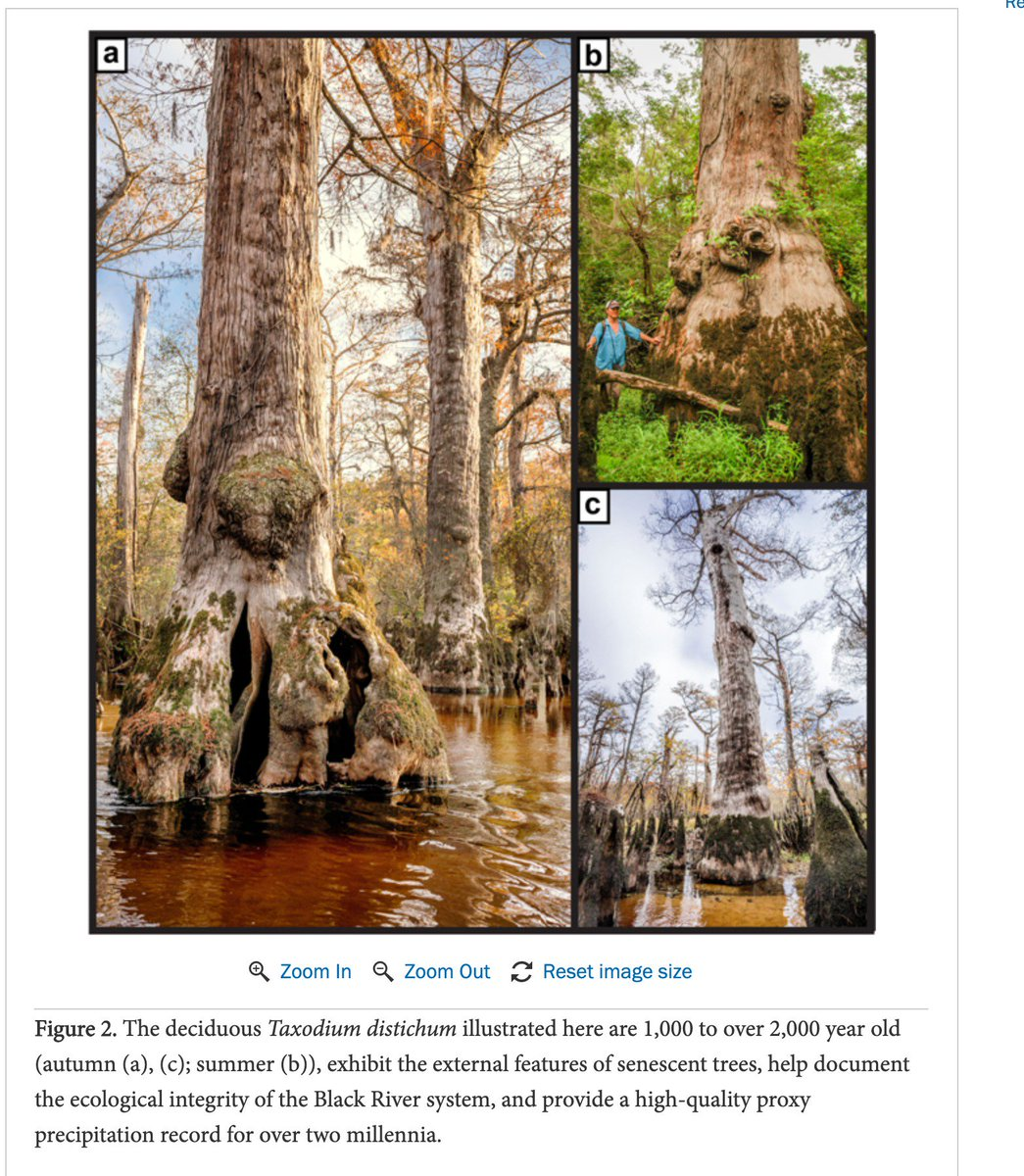 If these bald cypress can survive more than 2,000 years of climatic change and anthropogenic impacts, you can survive finals week. You got this, 'Jacks!  https://www.newsweek.com/2624-tree-north-carolina-swamp-oldest-planet-1421844?fbclid=IwAR2ai1QwHtDlxr2nn24SQUR0Pjx5RwoIIu-XnkKQi72HES5mQXRzOjWyHqI…  #TreeWisdom #Taxodium #FinalsWeek #ATCOFA