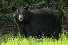 We are hiring a postdoc! Great collaborative project with @conversesj, @Fuller_Lab, and ME Fish & Wildlife developing a spatial integrated population model for black bears to understand demography & inform management. 40 years of data!  https://blogs.cornell.edu/fullerlab/news/ please RT.