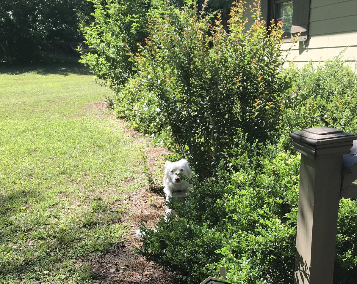 Nope. Nothing to see here...not one single puppy hiding from a walk. Just bushes. #stealthmode <br>http://pic.twitter.com/4AjrXX0gKP