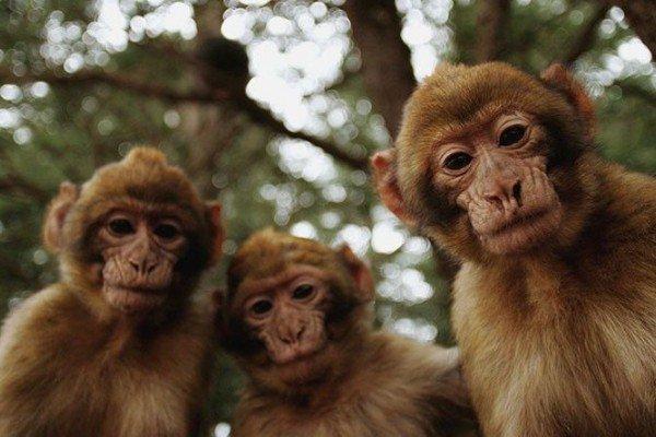 картинка с тремя обезьянами мем справочник реконструктора
