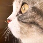 窓の外を見つめる猫の横顔を限界まで近づいて撮影してみました!