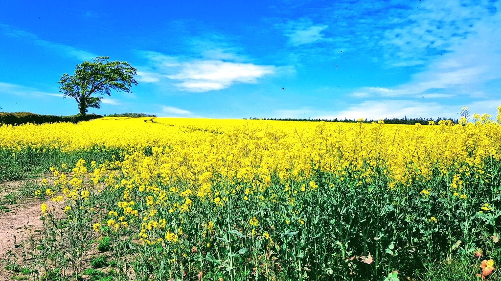 Such colourful fields this time of year #Scotland #WednesdayMotivation #walking #Countryside<br>http://pic.twitter.com/GcmlCq9zXX
