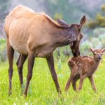 Image for the Tweet beginning: Warning: Yellowstone elk with calves