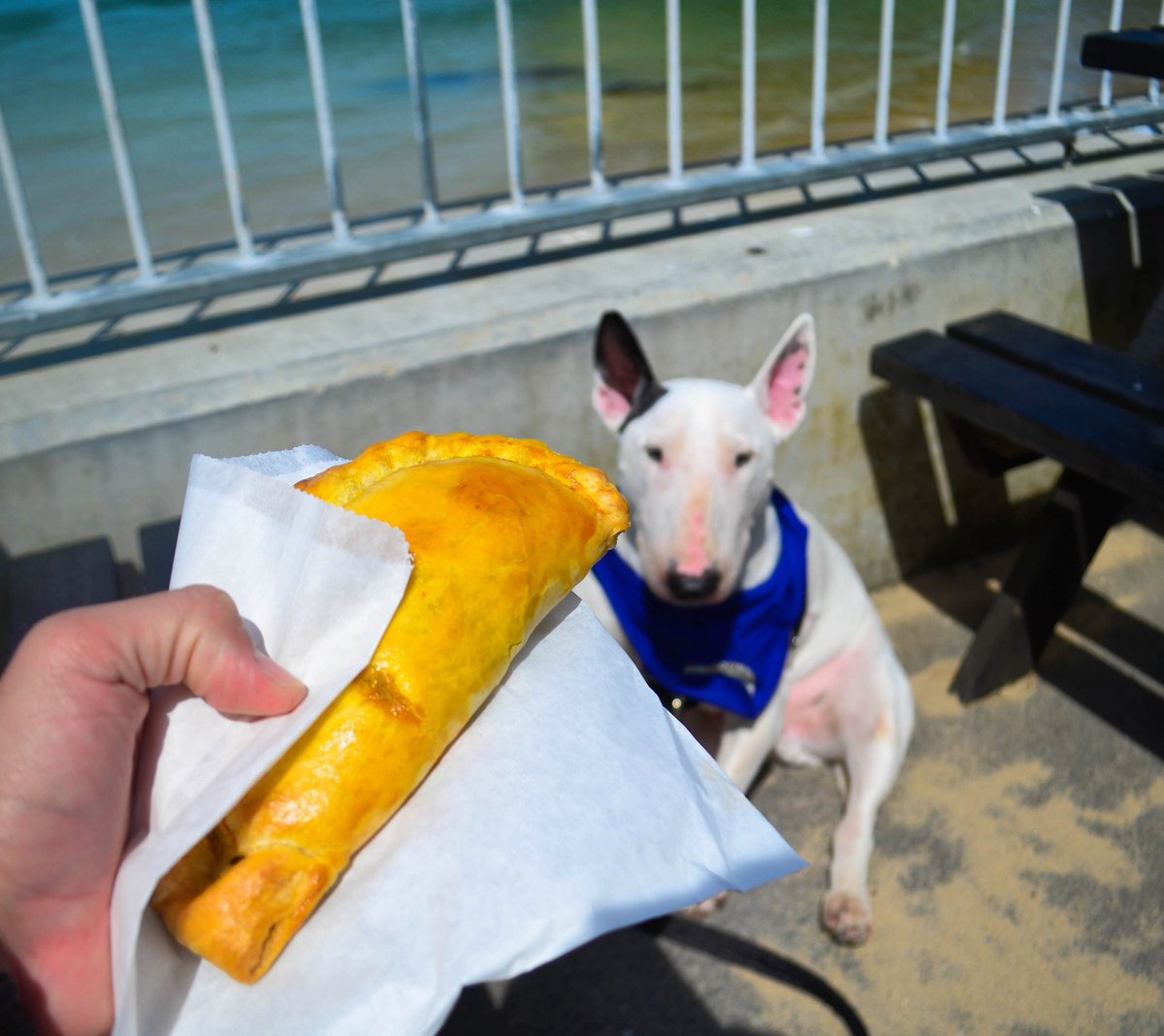 Our first time eating authentic Cornish pasties! They were delicious!  . . . #newquay #cornwall #dogsoftwitter #dogsofinstagram #bullterrier #bullies #bullterriers #puppers #puppy #dogs #dog #dogtravel #traveldog #dogfriendly #dogmodel #bullterrierlovers<br>http://pic.twitter.com/9JxHuAkuiH