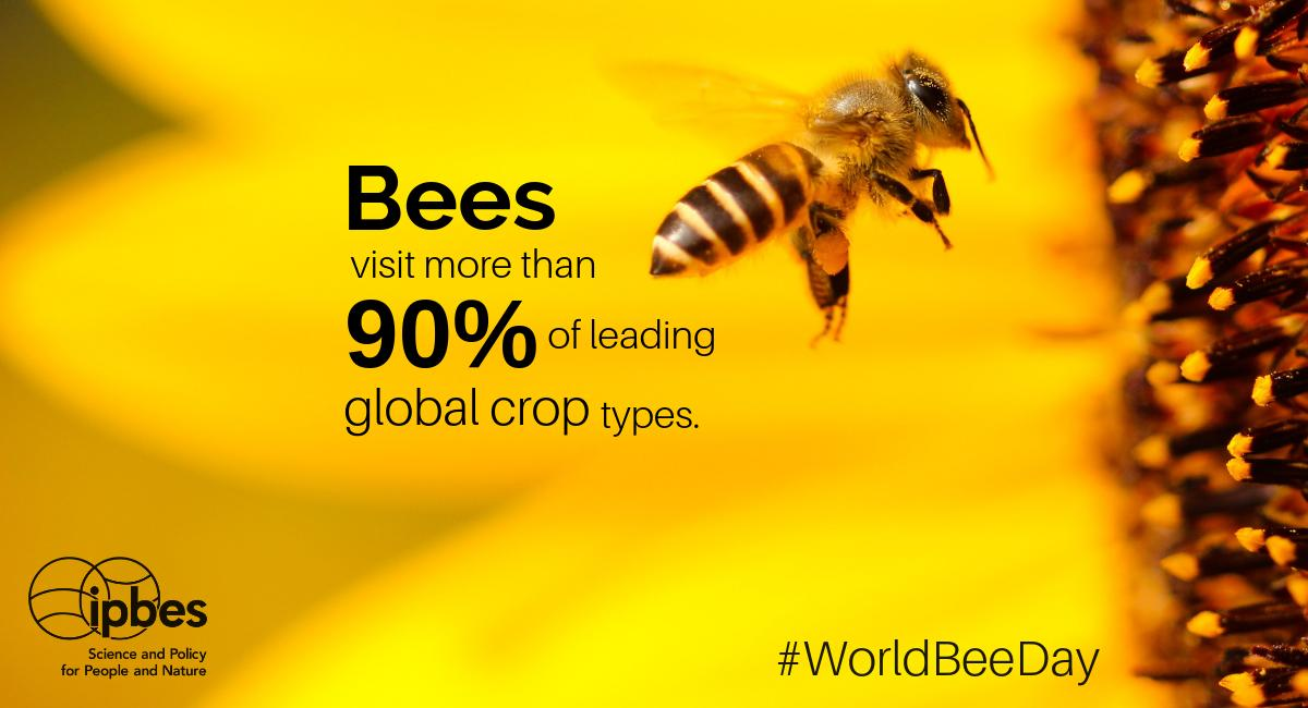 """ipbes on Twitter: """"Monday 20 May is World #Bee Day! Happy #WorldBeeDay!  ??? #Bees play an essential role in #pollination and are crucial for  #foodsecurity. #EUGreenWeek #ZeroHunger… https://t.co/Ax5pF3J2YF"""""""