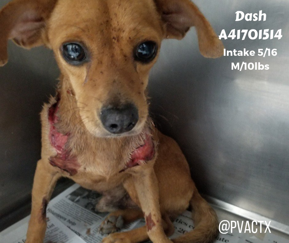 💔POOR LITTLE DASH ATTACKED BY OTHER DOGS IN PVAC KENNELS ????LARGE WOUNDS ON SHOULDERS 💔- MUST EXIT BY TOMORROW 05/18 BY 09AM OR WILL BE KILLED💉 BY PALM VALLEY ANIMAL CENTER EDINBURDG TX /BEST FRIENDS SOCIETY 👹 - NO TIME !!!! NO VET !!!! AS USUAL...rescue@pvactx.org ⚠️GRAPHIC