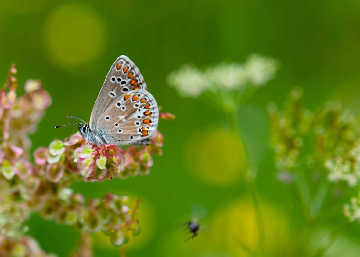 För pollinerande fjärilar är det viktigare att ha nära till skog än till åkrar, enligt en studie. Fynden ger viktig kunskap om hur landskapet bör formas för att dagfjärilar ska överleva.   https://liu.se/nyhet/fler-fjarilar-dar-hagar-omges-av-skog…  #biologiskamångfaldensdag #throwbackresearch #fjäril