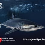 Image for the Tweet beginning: #EndangeredSpeciesDay The world's fastest shark,