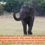 Image for the Tweet beginning: Happy #EleFunFactFriday!Male Asian elephants use