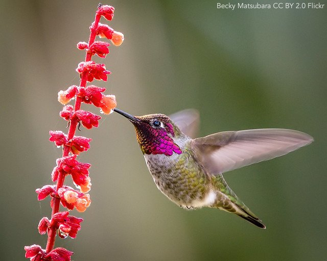 Ecological release of the Anna's #Hummingbird during a northern range expansion http://ow.ly/fdf250uf801 | @ASNAmNat | #ornithology
