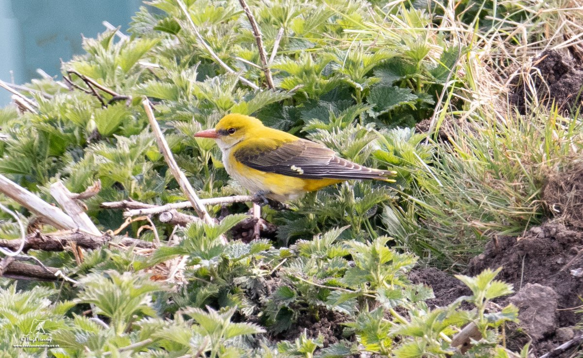 A migrant Golden Oriole adding a splash of colour at Quarff, #Shetland this afternoon. What a stunning bird.