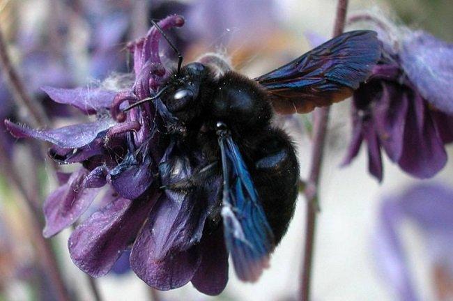 Jakiś czas temu potwierdzono powrót do Polski zadrzechni fioletowej, zwanej czarną pszczołą, która przez 70 lat była uznawana za wymarłą C: 🐝