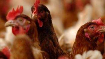 The Chicken Wing - Armley Jail is praised for helping prisoners by letting them care for chickens: bbc.in/2HwMIqF