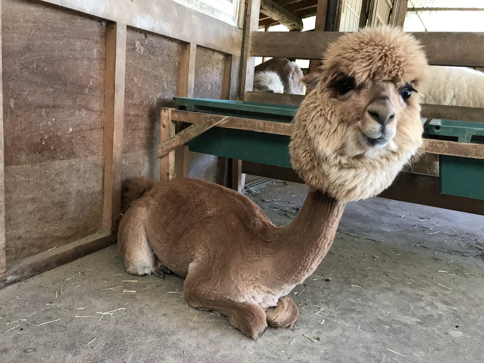 毛刈りされたアルパカがおもしろすぎるwwwかぶり物してるみたいwww