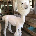 毛刈りされたアルパカがおもしろすぎる!かぶり物してるみたい!