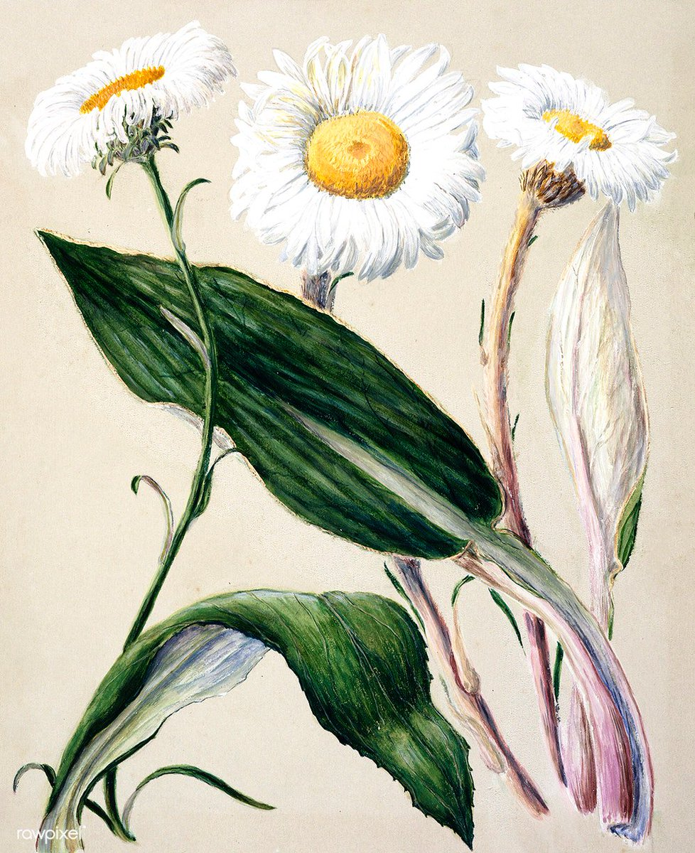 Antique plant New Zealand mountain daisies drawn by Sarah Featon (1848–1927). Original from Museum of New Zealand. Digitally enhanced by rawpixel. Download this image: http://rawpixel.com/board/44948/native-flowering-plants-new-zealand…
