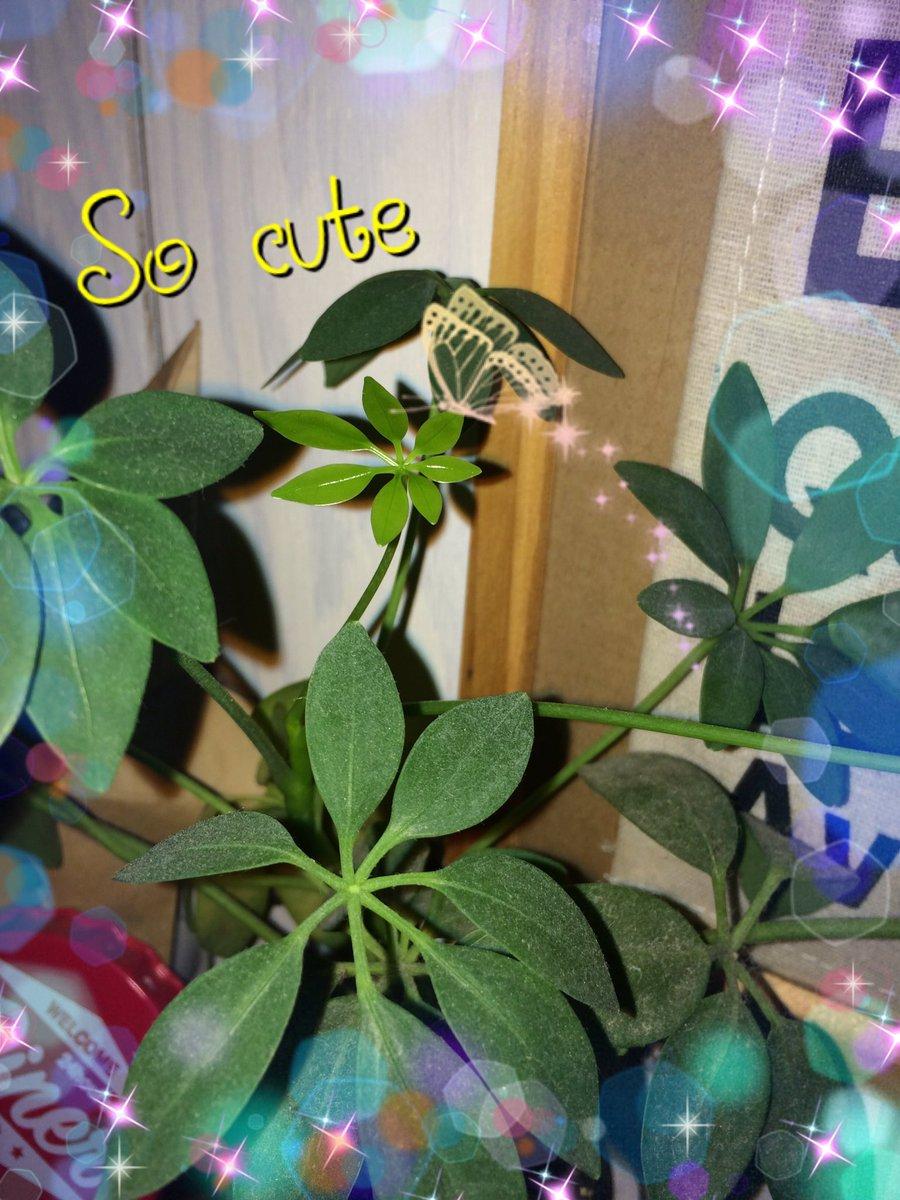 test ツイッターメディア - #パキラ #100円ショップ #DAISO #Seria #グリーン #green #plants #cute #植物好きさんと繋がりたい 我が家のパキラさん♡ちっちゃい黄緑の葉っぱが大きくなってくところがかわいすぎるぅぅ⁽⁽ଘ( ˊᵕˋ )ଓ⁾⁾ #癒し #インテリア #DIY好き https://t.co/IyiFmDirN0
