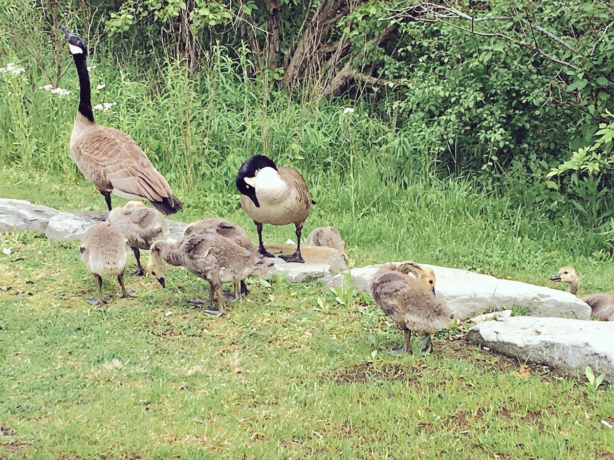 Awww little stinkers 🙊 #goslings #geeses #wildwildlife