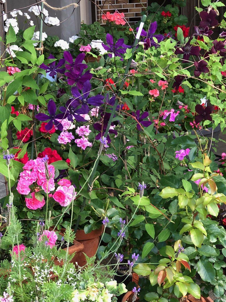 おはようございます✨  我が家の玄関周りです。クレマチスやミニバラ、ゼラニウム、ラベンダーがとっ散らかって咲いてます。 わさわさしててなんだかうれしいです😆  今日はお休みですが 少し体調不良💦 おとなしく過ごしまーす!