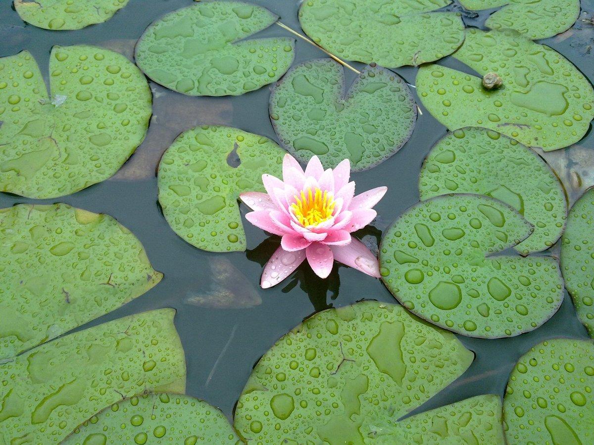 Water lily on a rainy day. #PlantSciArt #PlantDay @GlobalPlantGPC @plantspplplanet