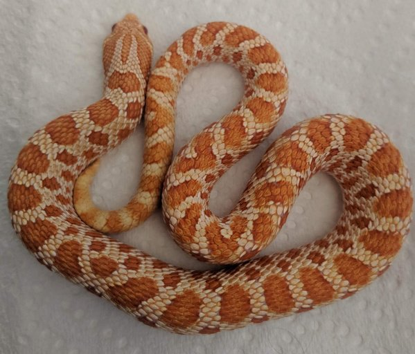 Red Albino Male Western Hognose by R O G Reptiles, $400 #colubrid
