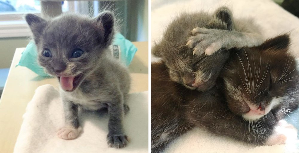 Sister kittens taken into rescue - one of them was just half the size and needed help to grow. See full story and updates: lovemeow.com/kittens-rescue…