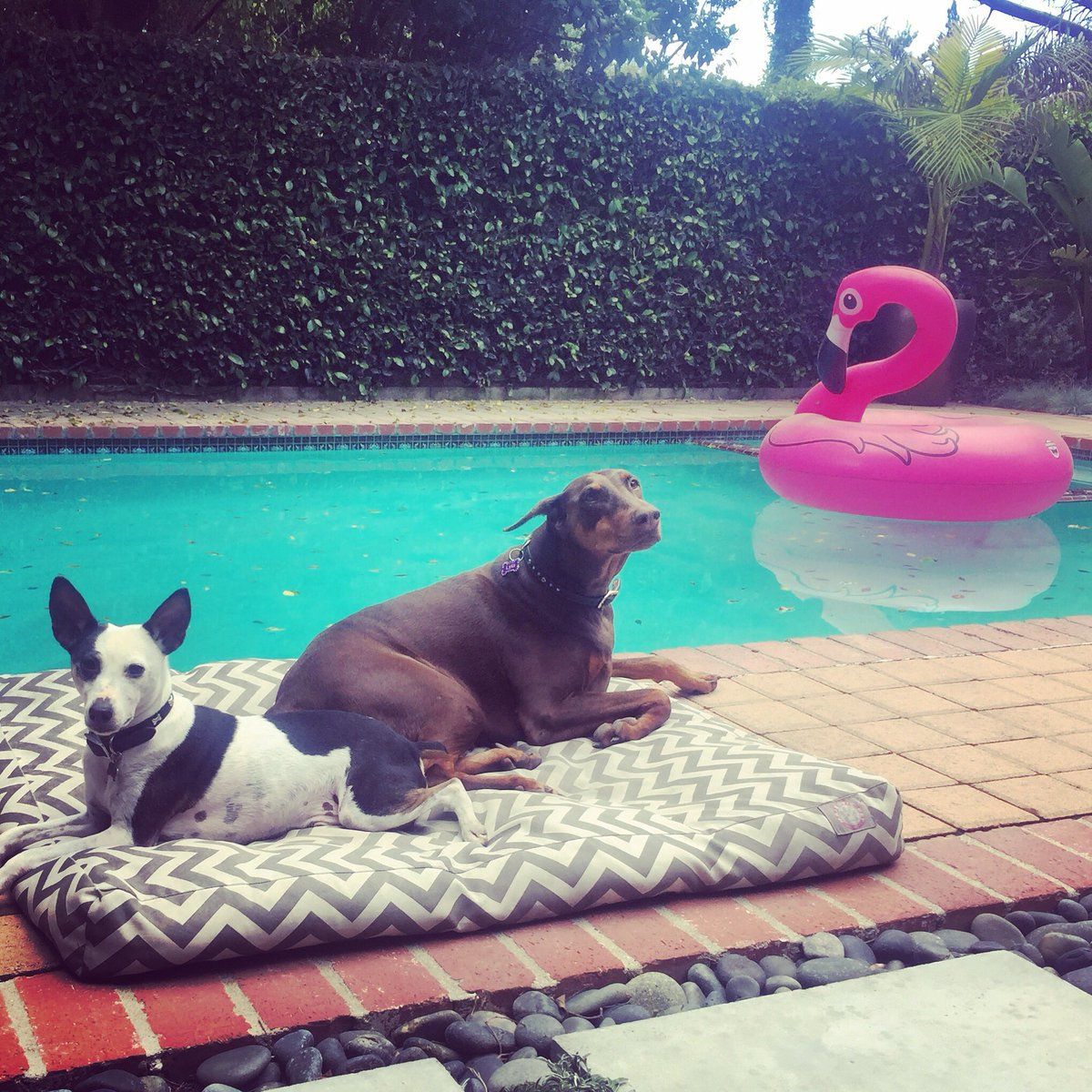 """""""I wish they all could be California...dogs"""" - #california #cali #lalaland #dogs #DogsofTwittter #doberman #ratterrier #deckerratterrier #poolside #woof #poolday #warmweather #poolweather #lazy #relax #chilling #poolvibes #sunshine #thebeachboys #flamingo @Rocky_OnTheRun #pets<br>http://pic.twitter.com/YfSa9qhiT1"""