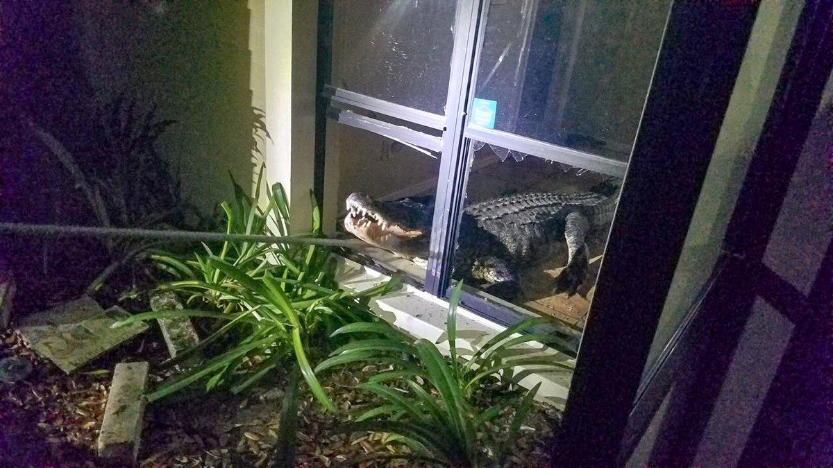 Enorme caimán