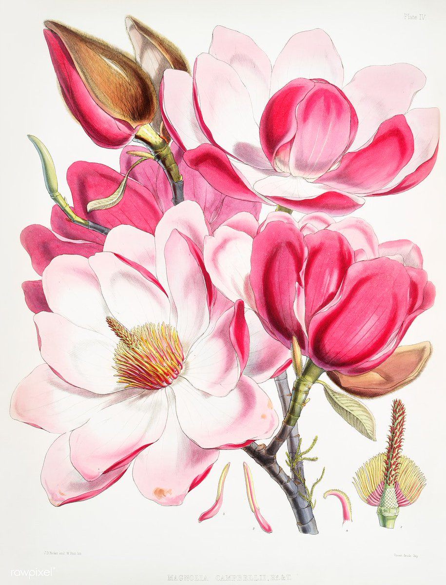 Campbell's magnolia (Magnolia Campbellii), Flowering plant from Illustrations of Himalayan plants (1855) by W. H. (Walter Hood) Fitch. Original from The New York Public Library. Digitally enhanced by rawpixel. Download this image: http://rawpixel.com/board/458511/new-york-public-library-plates…
