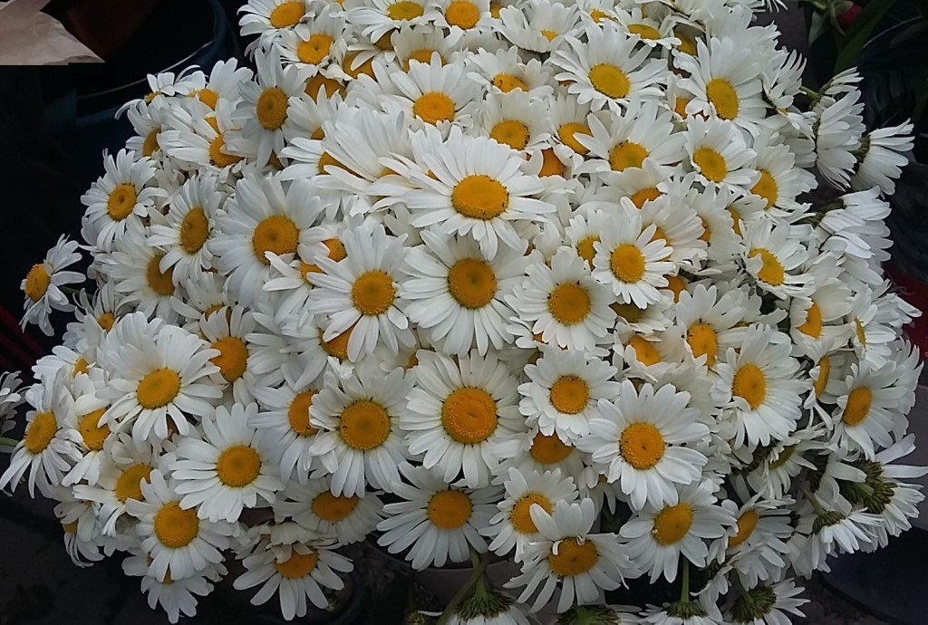 Большой букет синие хризантемы фото узнать, какие