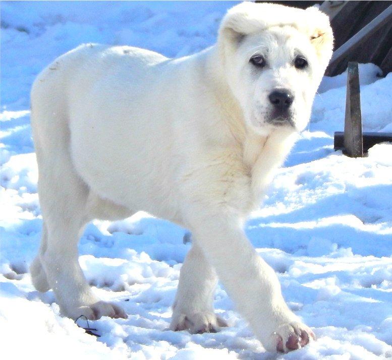 алабай белый фото взрослых собак народов