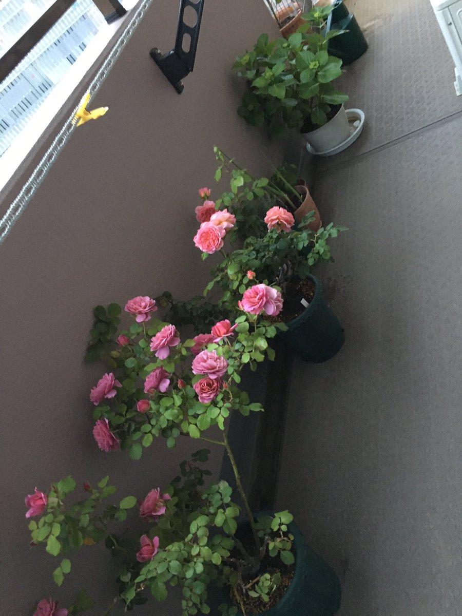 今晩から神奈川県は雨風強くなるようなので…一先ず風が当たらない方角に植物を退避。SEに就職することが決まった時、大学の教授から「うつ病予防には植物を育てるor飾るのが一番」とアドバイス頂いてから増え始めた我が子たち?#心に余裕のある人がする行動#真似る事で予防する発想#帰省時大変