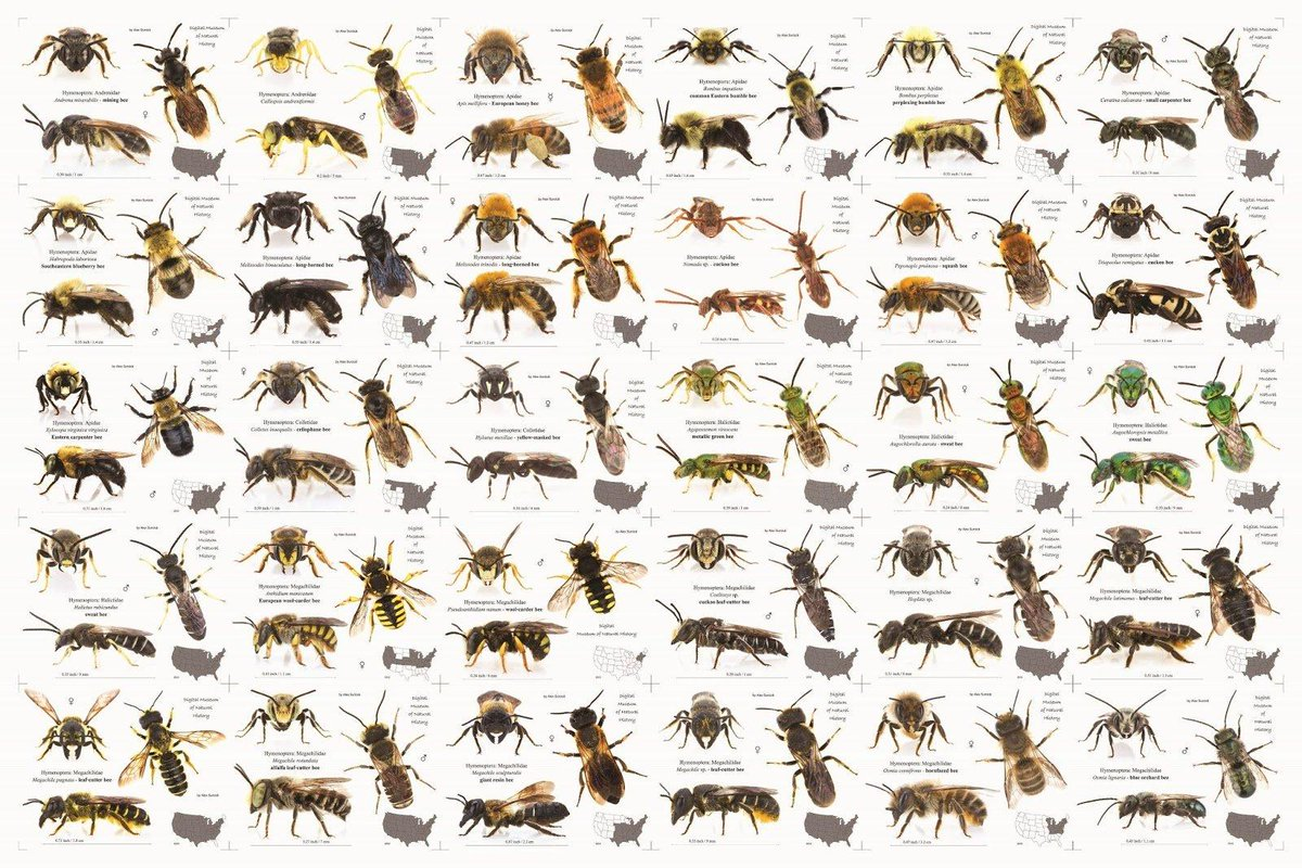 There are over 20,000 species of bee in the world! #WorldBeeDay 🐝
