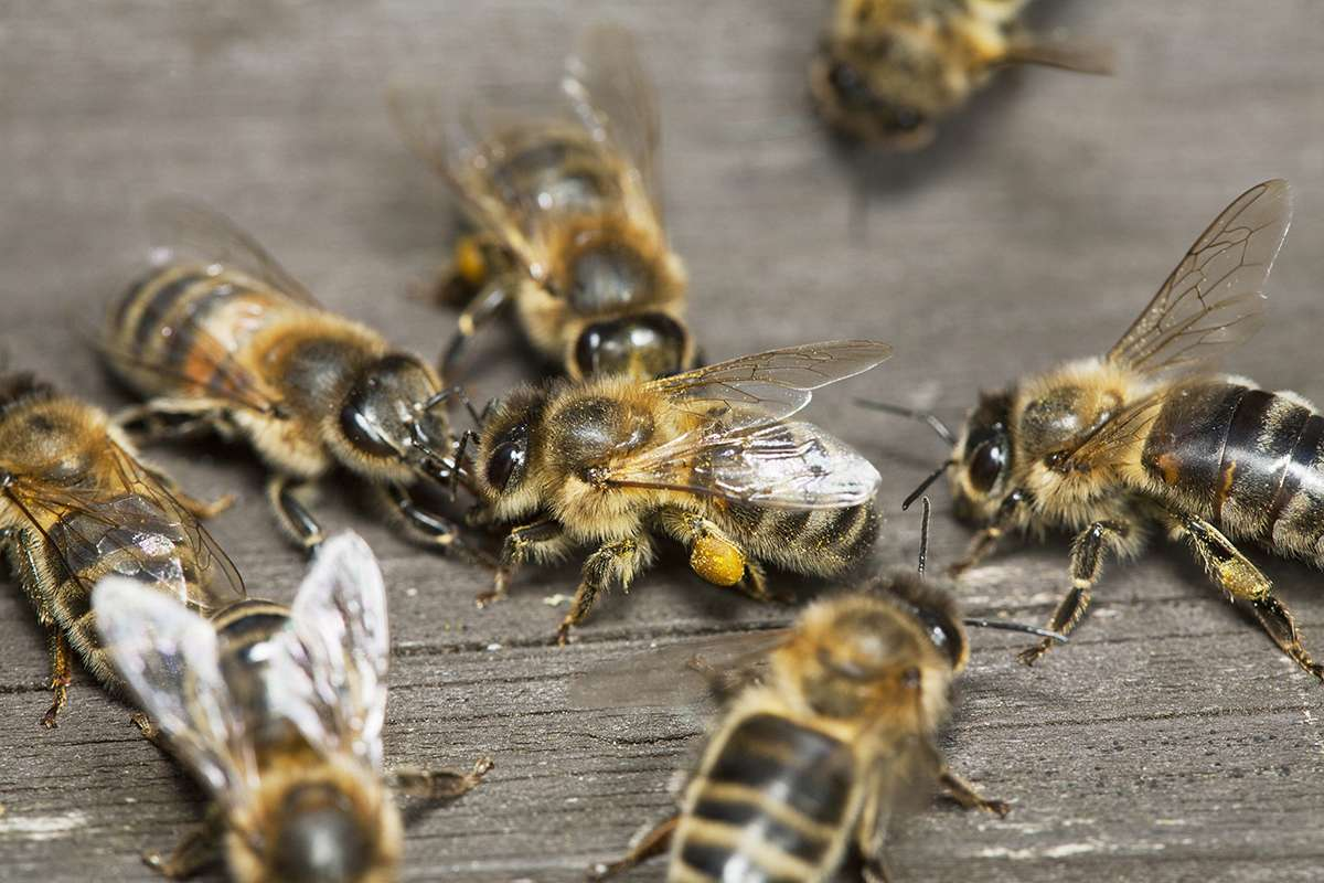 Honeybees let out a 'whoop' when they bump into each other newscientist.com/article/212127… #WorldBeeDay #Savethebees I let out a whoop when I read this sort of news! Theres always something new to learn about our hymenopteran friends