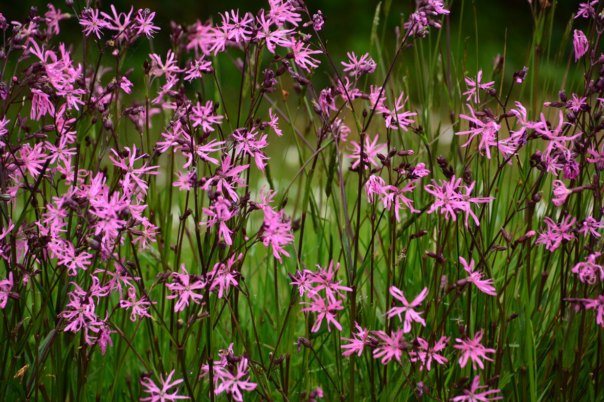 A lovely haze of pink surrounds our pond .. it is Ragged-robin (Silene flos-cuculi) which arrived about two years ago and is flourishing. I love it. @BioDataCentre @ConCollins5 @WildWexford