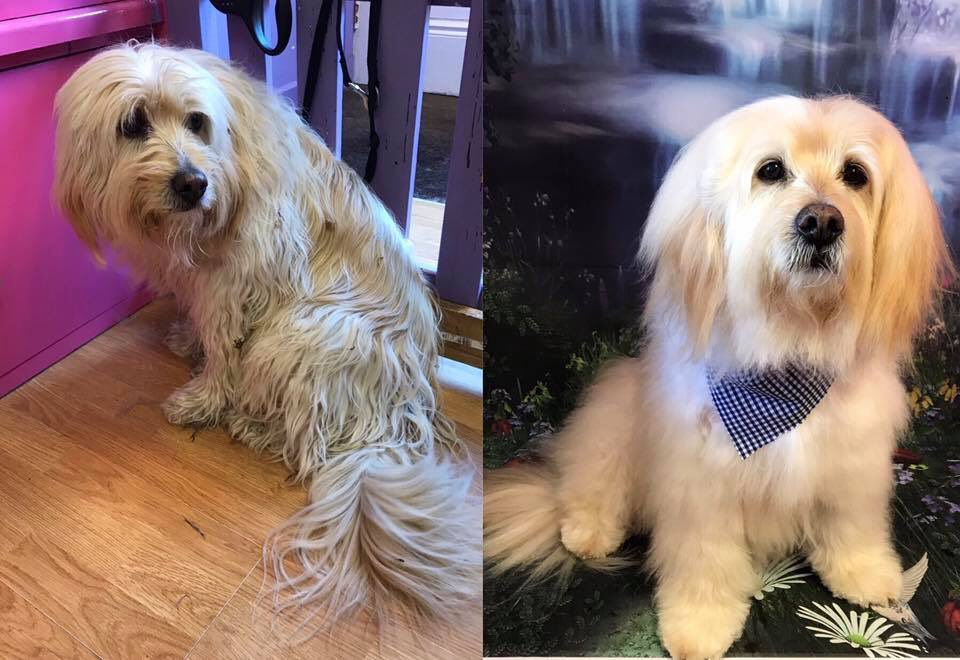 Handsome Marvin  Before and After  #doggrooming #barnoldswick #doggroomingsalon #catgroomingsalon    https://www. facebook.com/shortdognsides/    <br>http://pic.twitter.com/whx6qhnYnb
