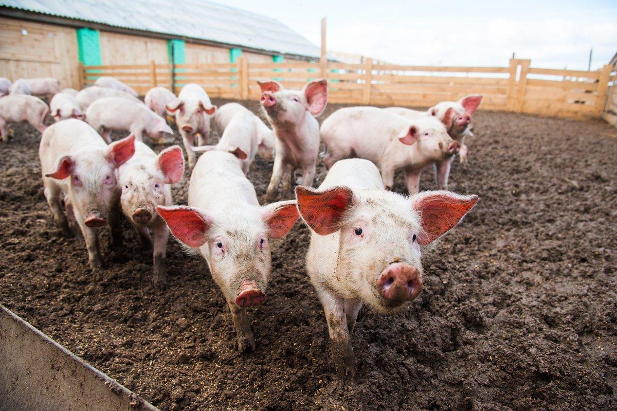 #Guatemala 🇬🇹 Programa Nacional de Sanidad Porcina (PRONASPORC) 🐷→  Consulte los informes semanales de mortalidad en granjas y boletines mensuales de focos reportados e investigados por departamento 👉 http://bit.ly/2HIrzcV