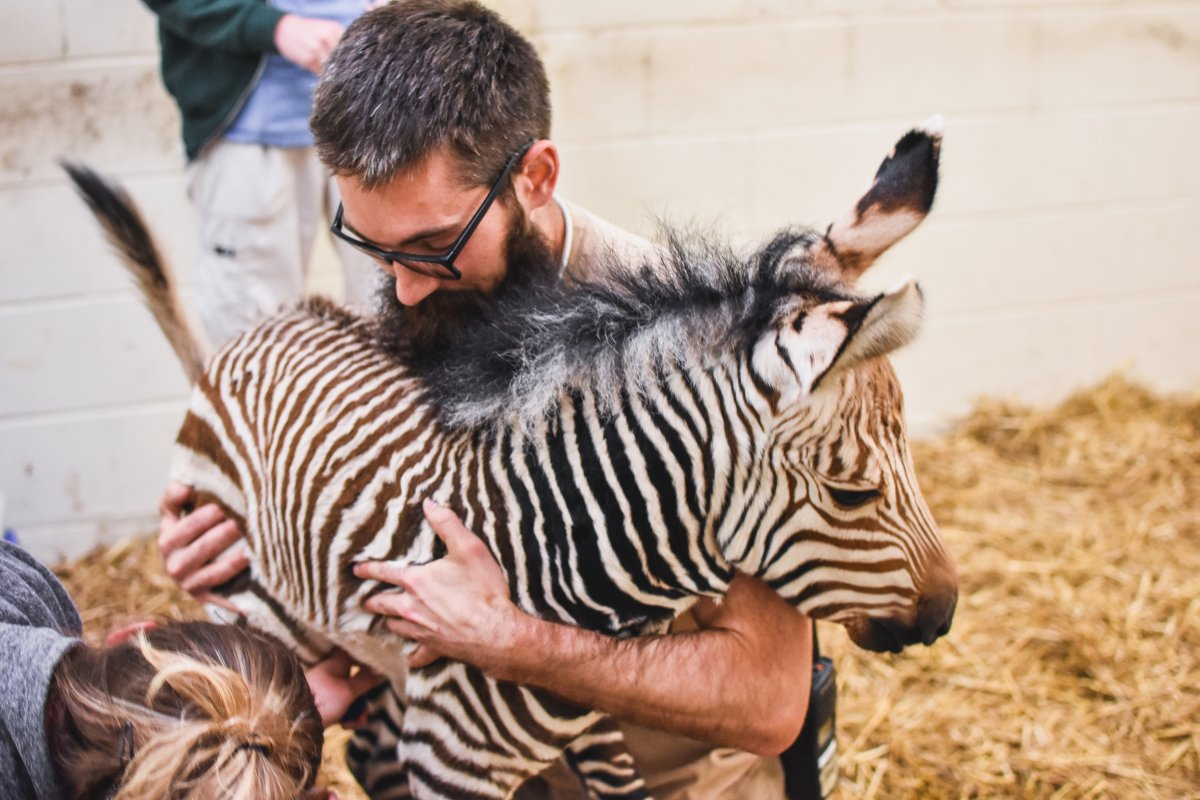 the best attitude 448e9 07619 the virginia zoo s newest baby zebra now has a name