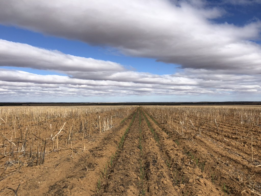 #asktwitter Is this rigorous germination of wheat in windrows compared to next to nothing alongside it, door due to the 'pot ash effect ' or 'the mulching effect' over summer. A concrete answer could improve yields off summer rain tenfold. #wheat #wafarmers #agchatoz<br>http://pic.twitter.com/Is2SXw02eQ