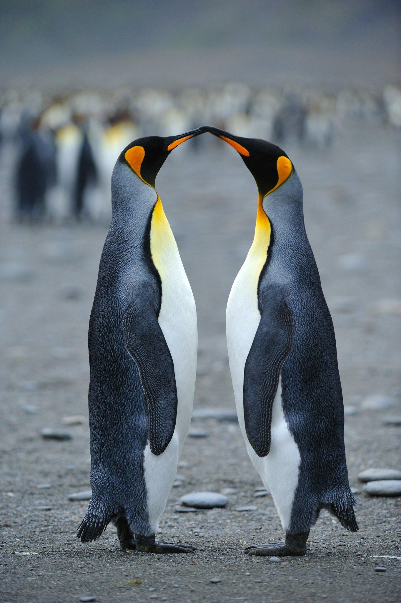 картинка двух пингвинов комментариях, кто знал