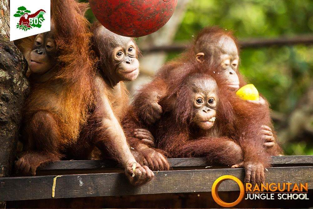 Orangutan Jungle School will be aired in the U.S. staring this summer! Get to know some of the stars of the show here: https://redapes.org/multimedia/orangutan-jungle-school/…
