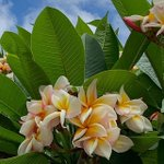 Image for the Tweet beginning: The Plumeria Tree in front