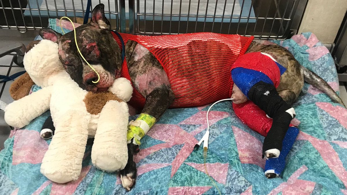 ABSOLUTE SCUMBAG!!!  Richmond police have charged a suspect with the burning of a #Pitbull bull named Tommie, alive!   https://www. nbc12.com/2019/05/20/sus pect-charged-with-animal-cruelty-setting-dog-tommie-fire/ &nbsp; … <br>http://pic.twitter.com/MeVZt32PAk
