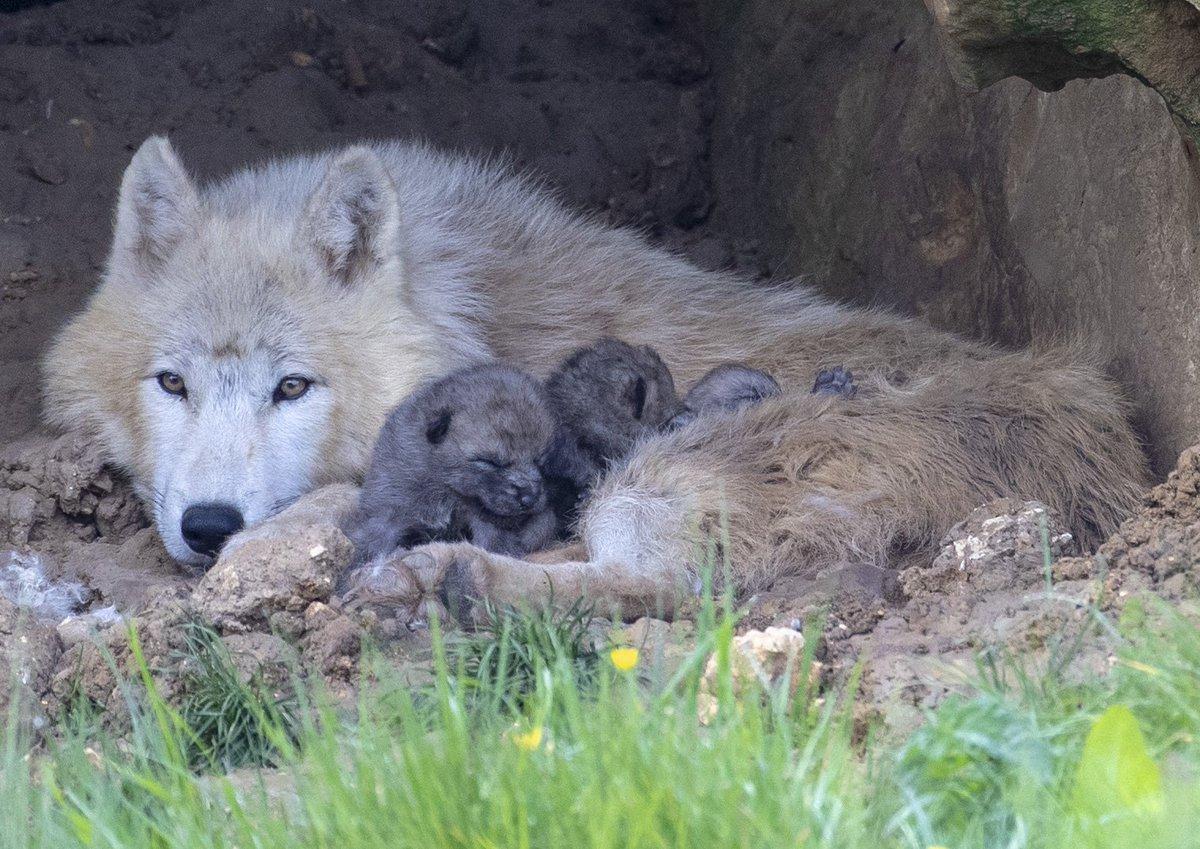 Merveilleuse nouvelle : la naissance de louveteaux arctiques, pour la 1ère fois au parc ! 1 mâle et 2 femelles !!!#loups #zooborn #zoobeauvalhttps://actus.zoobeauval.com/article/tres-heureuse-nouvelle-naissance-de-louveteaux…