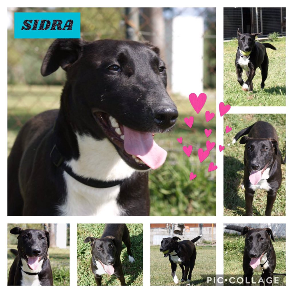 SIDRA – BORN HAPPY    Arrived in terrible state, neglected now good as new. Friendly, fearless but also sweet, gentle, gets on with other dogs, also loves human company. Looks like she may be a #BullTerrier x   http://www. spanishstraydogs.org.uk/sidra  &nbsp;    Adoptions@spanishstraydogs.org  #RehomeHour<br>http://pic.twitter.com/ATA3RUeIJ2